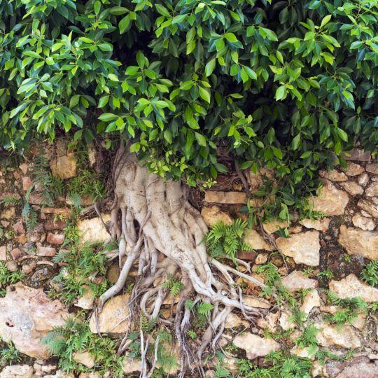 Tree Grows Through Wall